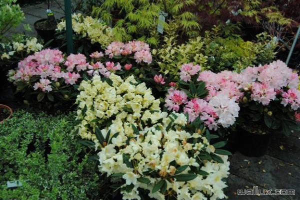 Azalées et rhododendrons Pépinière