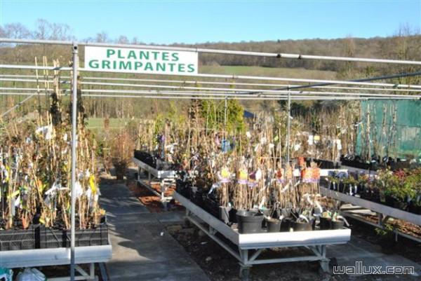 Plantes grimpantes Pépinière